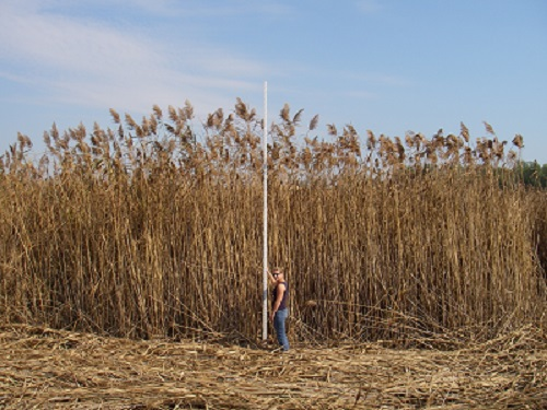 Photo H: This photo depicts the height of the invasive species, Phragmites. Photo courtesy of Janice Gilbert, Ontario Phragmites Working Group